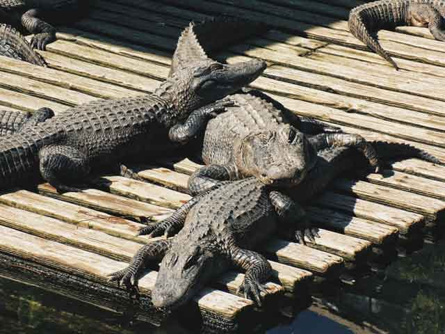 Crocodile Chonburi Thailand tired of ordinary travel this is the most dangerous tourist place in the world